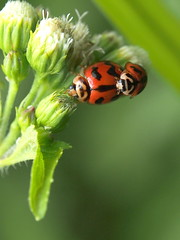Lady Bird | Mating | Petaling Jaya