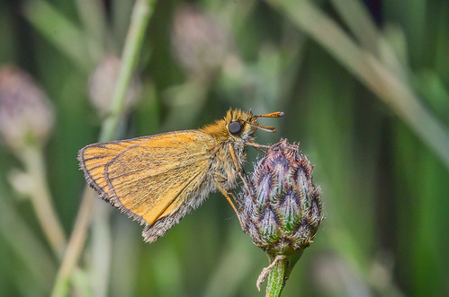 canada macro britishcolumbia insects lepidoptera northamerica skippers hesperiidae hexapoda europeanskipper thymelicuslineola okanagansimilkameen enderbymabellakeroad