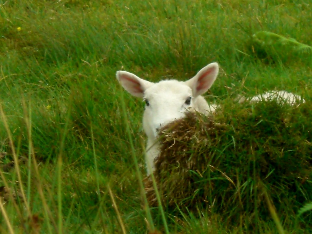 HIghlands lamb peeking around the corner
