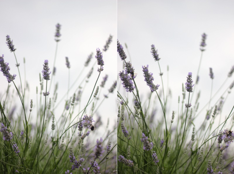 low-angle lavender