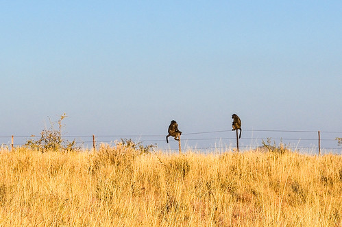 Baboons in the Khomas highland