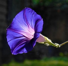 Three views of a morning glory: I