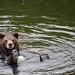 Brown Bear by fiatlux