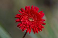 Gerbera - red