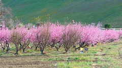 .Gorman ranch fruit trees