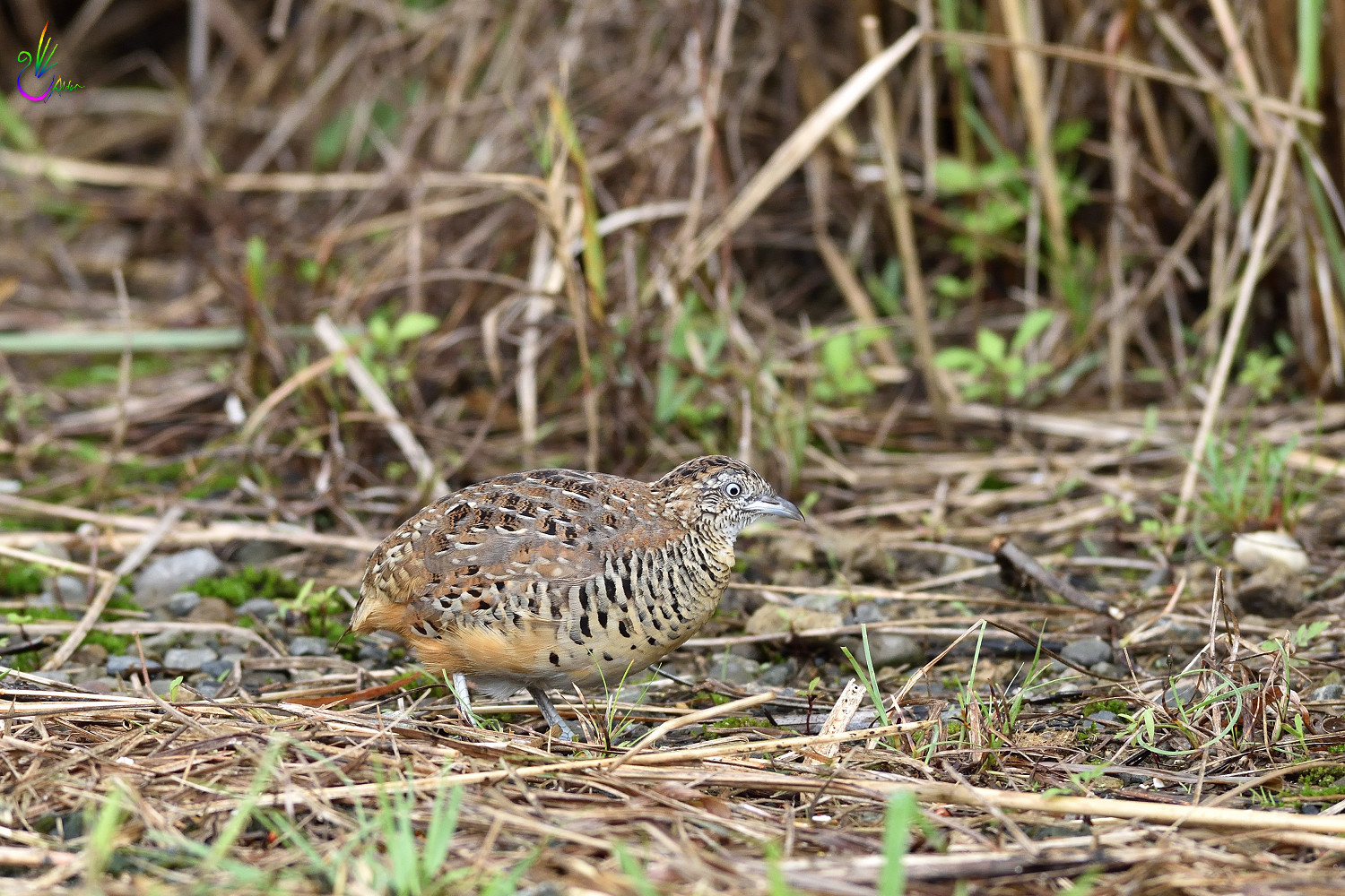 Barred_Buttonquail_7142