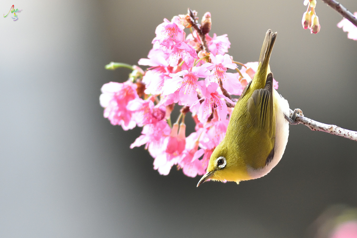 Sakura_White-eye_8191