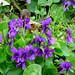 Small photo of Devon Violets. Viola odorata