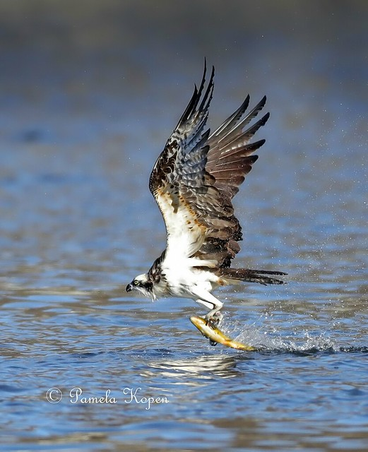 Pulling the fish, Osprey, Canon EOS-1D X MARK II, Canon EF 800mm f/5.6L IS