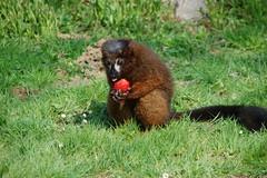 Lémurien roux