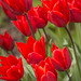 Red tulips by Zed.Cat