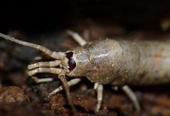 Southern Bristletail (Dilta hibernica) close-up