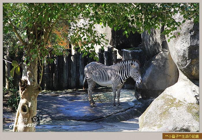 木柵動物園(圓仔)40
