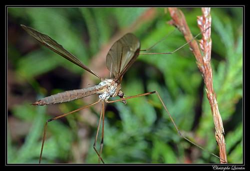 Tipula paludosa femelle