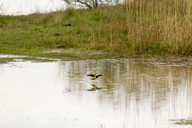 Swallow swooping over water