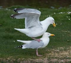 Gull balancing act