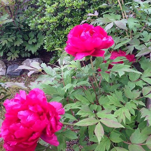庭の何チャラ牡丹。紅いのが綺麗に撮れん....
