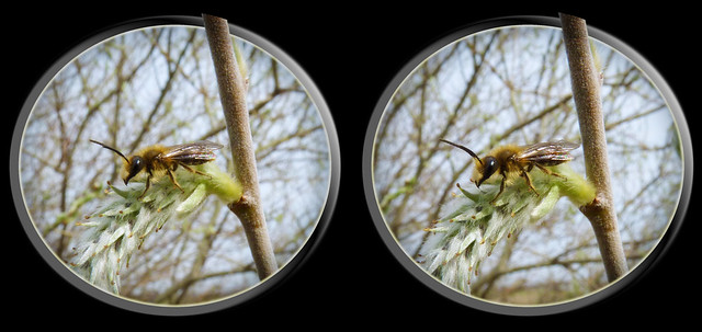 Bee On Willow - Cross-eye 1 3D