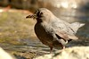 american dipper with food for young