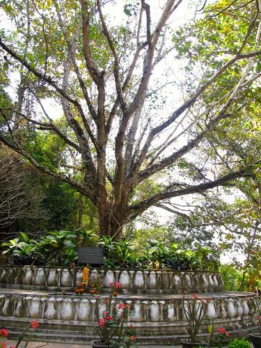 El árbol de Phu Si