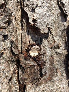 Maple Tree hole