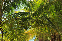 date palm, arecales, tropics, palm family, branch, leaf, tree, sunlight, flora, green, jungle,