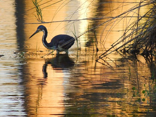 blue sunset brown white lake reflection bird heron yellow gold pond flickr purple florida wildlife swamp bradenton tricoloredheron wader tricolored mullhaupt jimmullhaupt