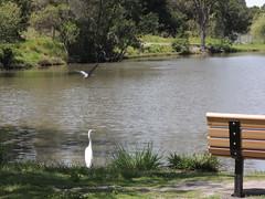 Great Egrett Milpitas CA (7)