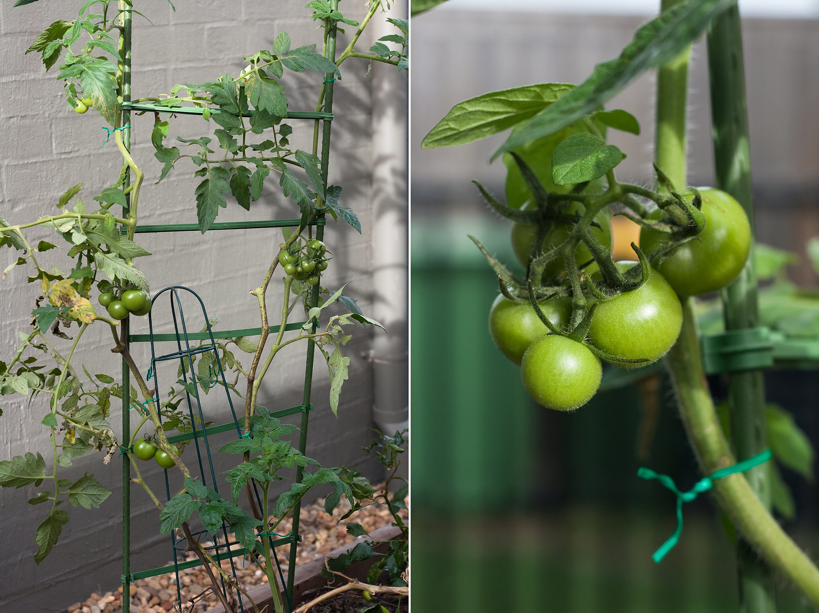 6 month catch-up - Tomato plant growing on trainer and close up