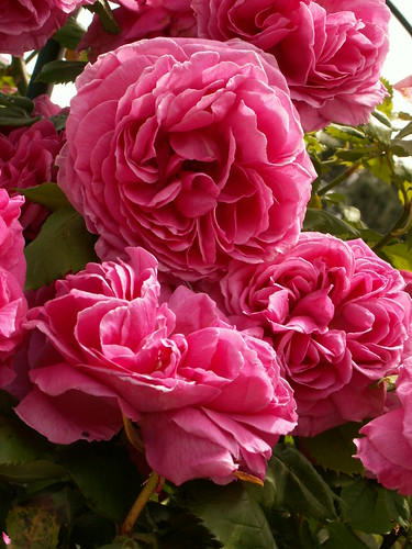 Rosa 'Mme Isaac Pereire'