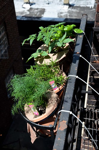 Container Growing Dill, Rosemary, Tomatoes, and Basil