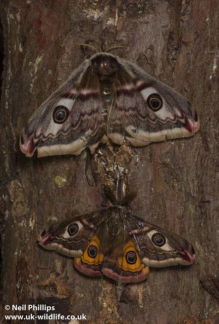 pair of emperor moths-4