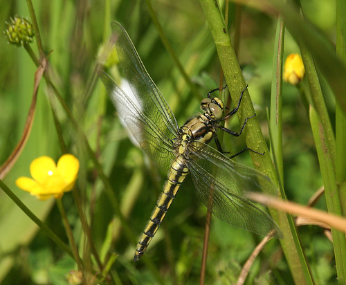 Black-tailed Skimmer Orthetrum cancellatum Tophill Low NR, East Yorkshire June 2014