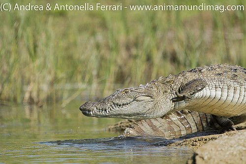 reefwondersdotnet posted a photo:	Marsh Crocodile Crocodylus palustris, Chambal River Sanctuary, India