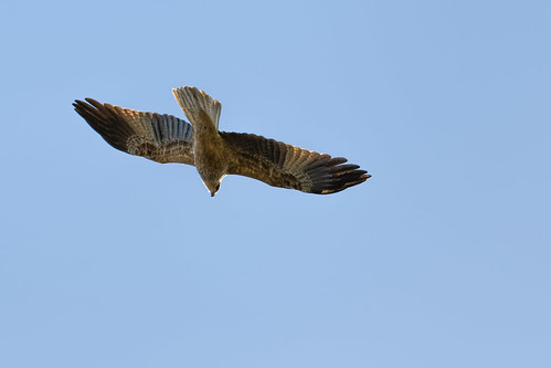 Whistling Kite 2014-05-19 (_MG_4502)