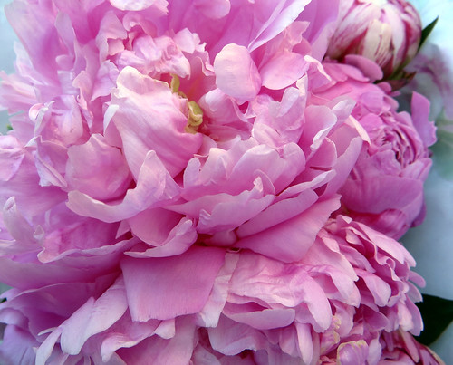 Peonies ~ from French farmers markets