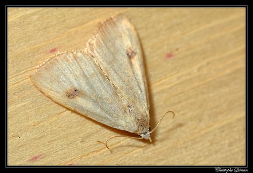 Soyeuse (Rivula sericealis)