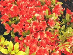 annual plant, shrub, flower, leaf, red, plant, flora, petal, azalea,