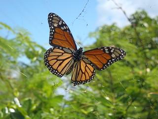 Monarch caught in flight