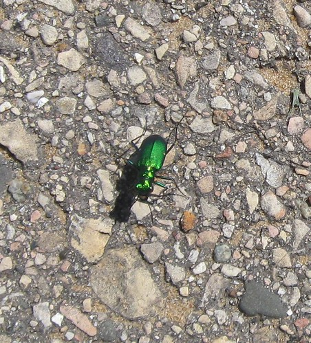 Six-spotted tiger beetle (Cicindela sexguttata), New Glarus Woods State Park