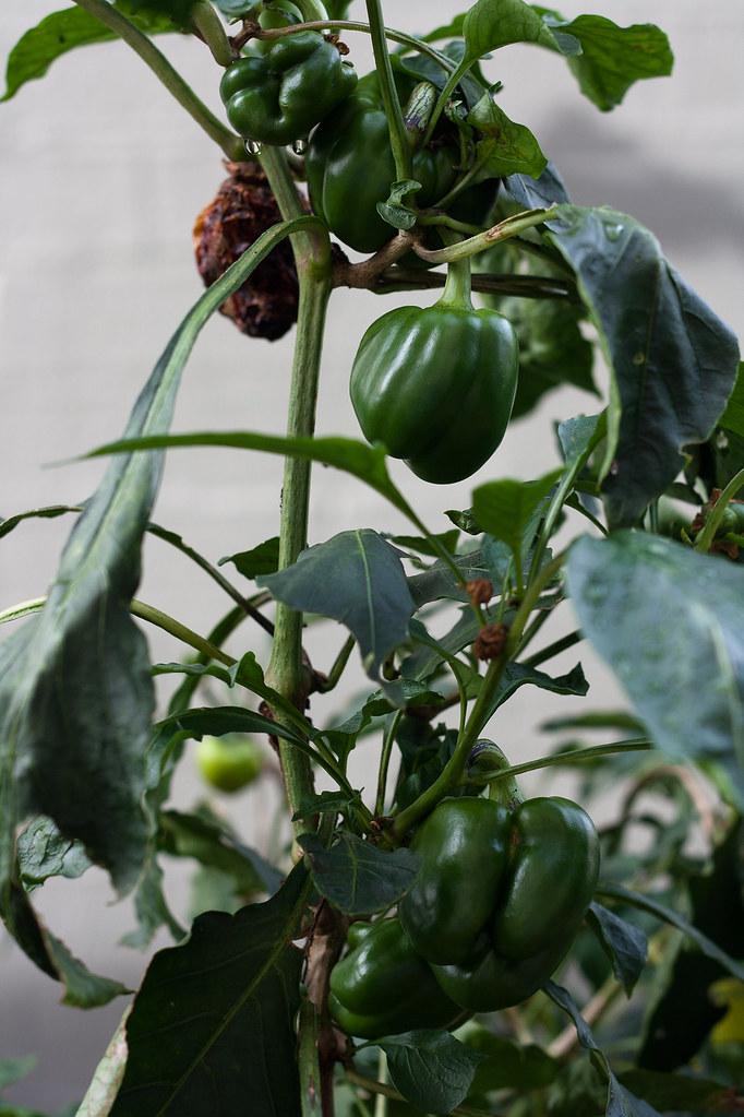 6 month catch-up - capsicum plant