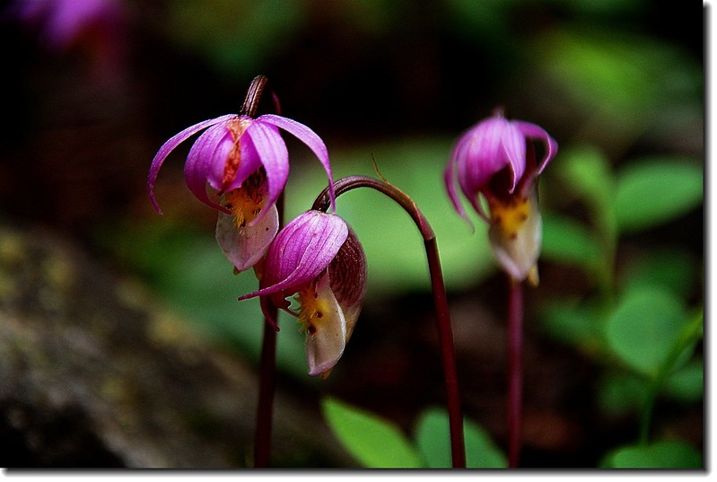 Calypso Orchid(Fairy Slipper) 4