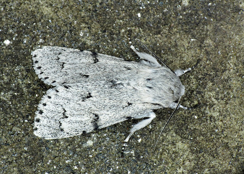 2280 The Miller - Acronicta leporina