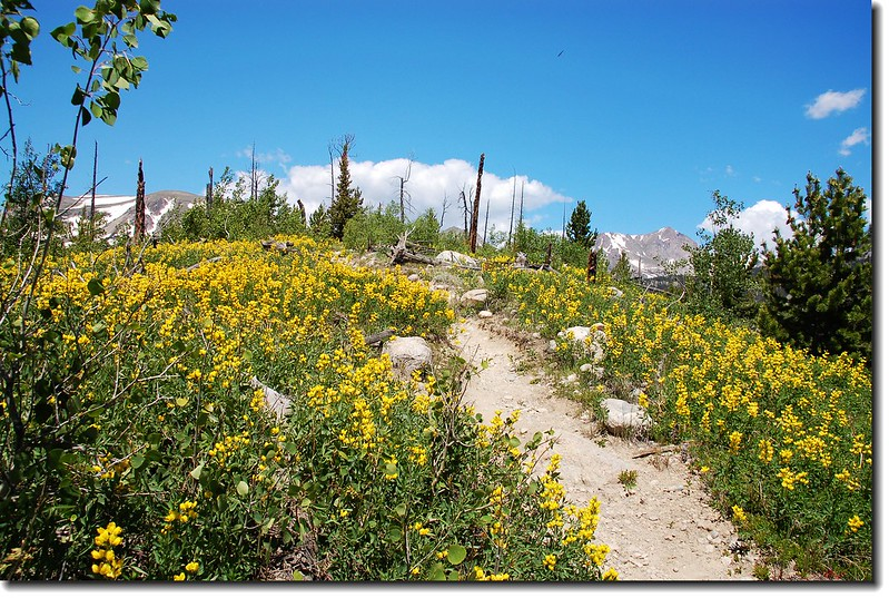 Golden banner is in full bloom along the trail 4