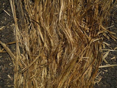 milkweed stalks, semi-bashed