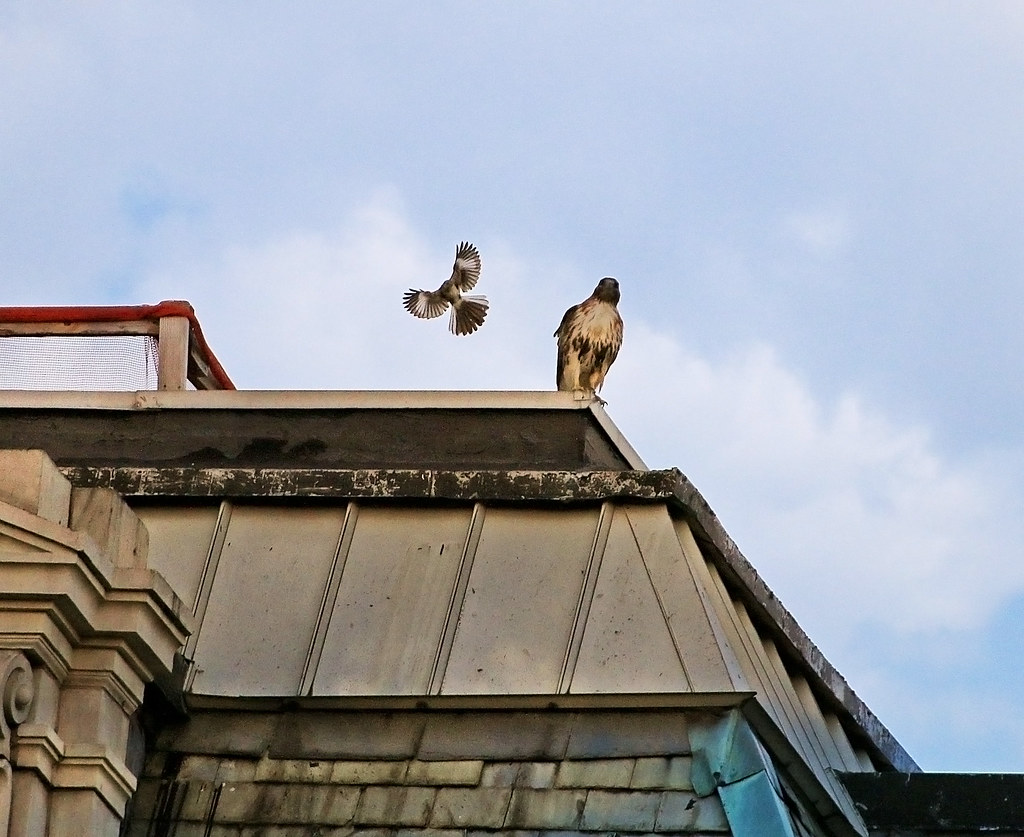 Dora the hawk and an angry mockingbird