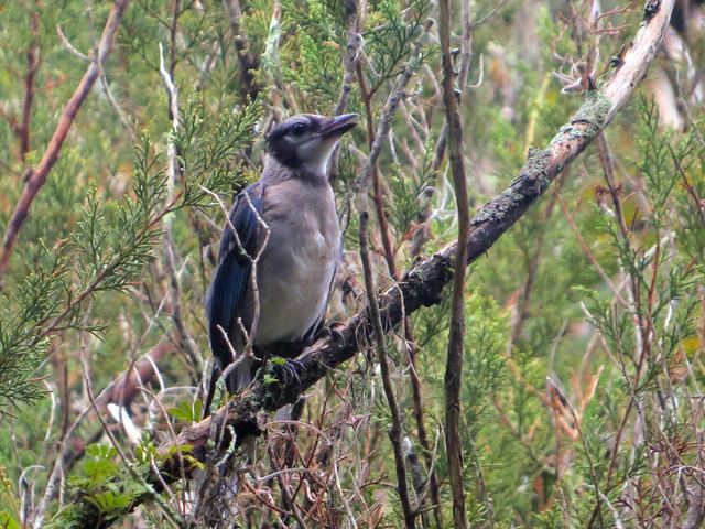 Immature Blue Jay (Cyanocitta cristata)