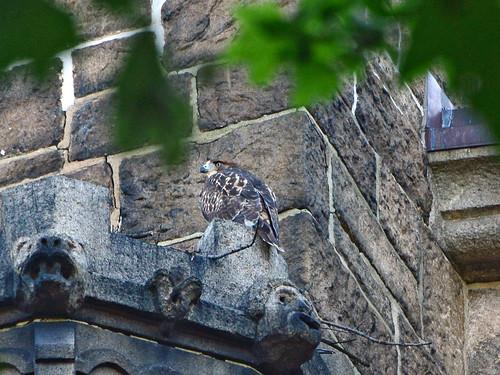 Cathedral Hawk Fledgling (2709)
