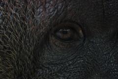 orangutan's eye