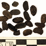 Charred common beans (Phaseolus vulgaris) from site 14DP26